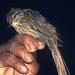 Ticotico Rayado - Photo Aves y Conservación, sin restricciones conocidas de derechos (dominio publico)