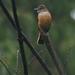 Myiotheretes striaticollis - Photo (c) Michael Woodruff, μερικά δικαιώματα διατηρούνται (CC BY-SA)