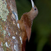 Cinnamon-throated Woodcreeper - Photo (c) Cláudio Dias Timm, some rights reserved (CC BY-NC-SA)