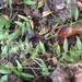 Oplismenus hirtellus setarius - Photo (c) Anna Livia Beckendorf, alguns direitos reservados (CC BY-NC-ND)