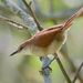 Yellow-chinned Spinetail - Photo (c) Cláudio Dias Timm, some rights reserved (CC BY-NC-SA)