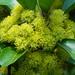 Litsea glutinosa - Photo (c) 葉子,  זכויות יוצרים חלקיות (CC BY-NC-ND)