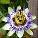 Flores de la Pasión - Photo (c) André Zehetbauer, algunos derechos reservados (CC BY-SA)