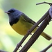 Mourning Warbler - Photo (c) Tom Benson, some rights reserved (CC BY-NC-ND)