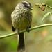 Uromyias agilis - Photo (c) Michael Woodruff,  זכויות יוצרים חלקיות (CC BY)