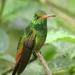 Colibrí Cola Canela - Photo (c) David Cook Wildlife Photography, algunos derechos reservados (CC BY-NC)