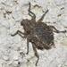 Brachycerus muricatus - Photo (c) Pascal Dubois, algunos derechos reservados (CC BY-NC)