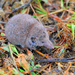 Greater White-toothed Shrew - Photo (c) carlespastor, some rights reserved (CC BY-SA), uploaded by Carles Pastor