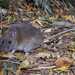 Rattus fuscipes - Photo (c) Brett Vercoe, algunos derechos reservados (CC BY-NC)