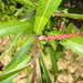 Homonoia riparia - Photo (c) siddarthmachado, algunos derechos reservados (CC BY-NC)
