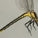 Phanogomphus descriptus - Photo (c) Guy Lemelin, μερικά δικαιώματα διατηρούνται (CC BY-NC)