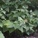 Cacalia robusta - Photo (c) Nadezhda Liksakova,  זכויות יוצרים חלקיות (CC BY-NC)