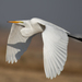 Great Egret - Photo (c) daverowe, some rights reserved (CC BY-NC)