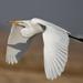 Garza Blanca - Photo (c) daverowe, algunos derechos reservados (CC BY-NC)