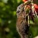 Funambulus sublineatus - Photo (c) Dusky_striped_squirrel_(2)_by_N_A_Nazeer.tif, algunos derechos reservados (CC BY-SA)