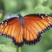 Mariposa Soldado - Photo (c) Rich Kostecke, algunos derechos reservados (CC BY-NC)
