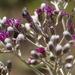 Hilliardiella oligocephala - Photo (c) fayne, algunos derechos reservados (CC BY-NC)