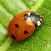 Seven-spotted Lady Beetle - Photo (c) Katja Schulz, some rights reserved (CC BY)