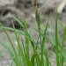 Twisted Sedge - Photo (c) Erika Mitchell, some rights reserved (CC BY-NC)