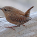 Winter Wren - Photo (c) Ken Butler, some rights reserved (CC BY-NC)