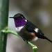 Philodice mitchellii - Photo (c) David Cook,  זכויות יוצרים חלקיות (CC BY-NC)