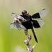 Camacinia othello - Photo (c) Graham Winterflood, algunos derechos reservados (CC BY-SA)
