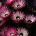 Phaenocoma prolifera - Photo (c) Tony Rebelo, algunos derechos reservados (CC BY-SA)