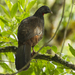 Andean Guan - Photo (c) Francesco Veronesi, some rights reserved (CC BY-NC-SA)