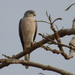Accipiter badius sphenurus - Photo (c) Abubakar S. Ringim,  זכויות יוצרים חלקיות (CC BY-NC)
