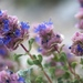 Salvia dorrii - Photo (c) Brent Miller, algunos derechos reservados (CC BY-NC-ND)
