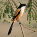 Long-tailed Shrike - Photo (c) Subhajit Roy, some rights reserved (CC BY-NC-ND)