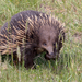 Short-beaked Echidna - Photo (c) Andrew Allen, some rights reserved (CC BY)