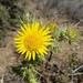 Berkheya heterophylla - Photo (c) Ryan Tippett, algunos derechos reservados (CC BY-NC)