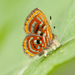 Mariposas Marca de Metal - Photo (c) Karl Kroeker, algunos derechos reservados (CC BY-NC)