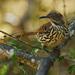 Toxostoma longirostre - Photo (c) Jerry Oldenettel,  זכויות יוצרים חלקיות (CC BY-NC-SA)