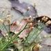 Eleocharis geniculata - Photo (c) Carlos G Velazco-Macias, osa oikeuksista pidätetään (CC BY-NC)