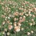 Eriophorum chamissonis - Photo (c) Sean Blaney, algunos derechos reservados (CC BY-NC)