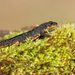 Bosca's Newt - Photo (c) Naturpel, some rights reserved (CC BY-NC), uploaded by naturpel