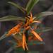 Dendrobium jerdonianum - Photo (c) siddarthmachado, algunos derechos reservados (CC BY-NC)