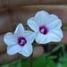 Ipomoea sagittifolia - Photo (c) Kritsada Moomuang, algunos derechos reservados (CC BY-NC)