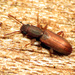 Silvanidae - Photo (c) Katja Schulz,  זכויות יוצרים חלקיות (CC BY)