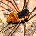 Stygnidae - Photo (c) Ken-ichi Ueda, alguns direitos reservados (CC BY)