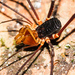 Stygnidae - Photo (c) Ken-ichi Ueda, algunos derechos reservados (CC BY)