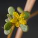 Γλιστρίδα - Photo (c) Ehoarn Bidault, μερικά δικαιώματα διατηρούνται (CC BY-NC)