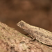 Minute Leaf Chameleon - Photo (c) thierrycordenos, some rights reserved (CC BY-NC)