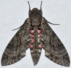 Pink-spotted Hawkmoth - Photo (c) sararuth, some rights reserved (CC BY-NC)