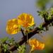 Rhigozum zambesiacum - Photo (c) tjeerd, algunos derechos reservados (CC BY-NC)
