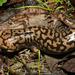 Salamandras Gigantes - Photo (c) Tony Iwane, algunos derechos reservados (CC BY-NC)