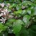 Rubus echinatus - Photo (c) lern, algunos derechos reservados (CC BY-NC)