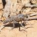 Anasillomos chrysopos - Photo (c) Ryan Tippett, algunos derechos reservados (CC BY-NC)
